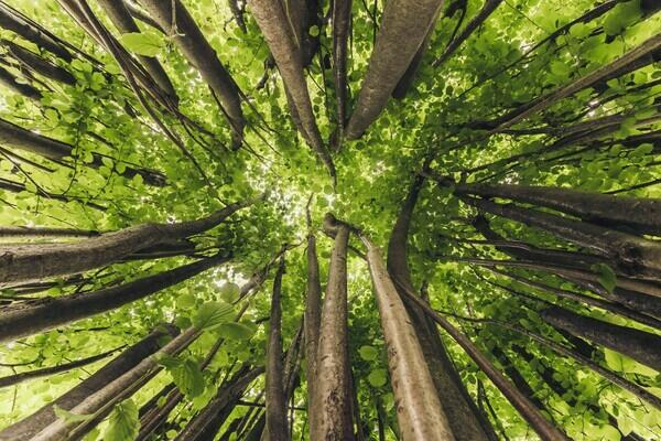 Tree tops as seen from below Totally green canopy with no sky visible
